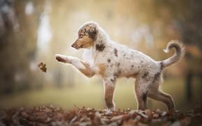 Картинка осень, природа, лист, животное, листва, игра, собака, щенок, пёс, аусси