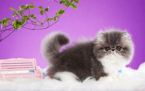 Картинка кошка, взгляд, листья, скамейка, ветки, поза, котенок, серый, фон, сиреневый, мордочка, лавочка, персидский, экстремал, фотостудия