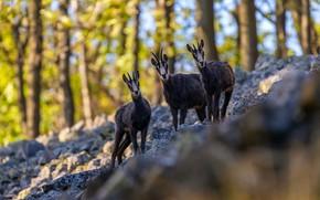 Картинка осень, лес, взгляд, свет, деревья, природа, камни, склон, холм, три, трио, коза, морды, боке, козы, …