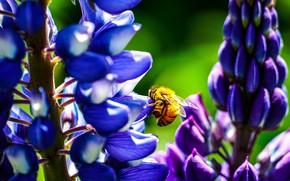 Картинка цветы, пчела, люпины