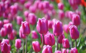 Картинка поле, цветы, поляна, весна, тюльпаны, розовые, бутоны, много, сиреневые, боке