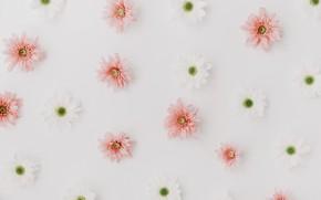 Картинка белый, цветы, розовый, Хризантемы
