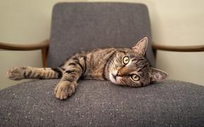 Картинка кошка, кот, взгляд, морда, серый, кресло, лежит, полосатый