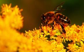 Картинка лето, макро, свет, цветы, пчела, фон, желтые, насекомое