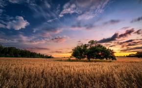Картинка поле, лето, закат, дерево