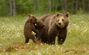 Картинка зелень, лес, лето, трава, взгляд, морда, природа, поза, фон, поляна, игра, медведь, медведи, три, медвежонок, …