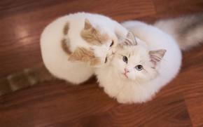 Обои кошка, взгляд, кошки, игра, две, паркет, пол, белые, парочка, отношения, милашки, общение, питомцы, смотрит вверх, ...