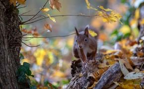 Картинка осень, листья, природа, поза, листва, белка, грызун