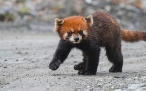 Картинка малыш, детеныш, малая панда