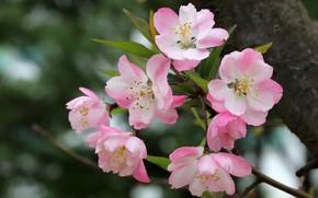 Картинка природа, дерево, ветка, весна, яблоня, цветение, цветки