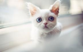 Картинка белый, взгляд, мордочка, котёнок, голубые глаза, котейка