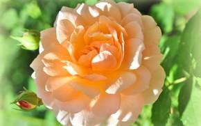 Картинка нежность, роза, жёлтая роза