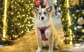 Картинка взгляд, свет, ветки, город, огни, поза, шары, улица, собака, Рождество, щенок, Новый год, поводок, мордашка, …