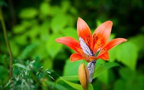 Картинка цветок, лето, макро, бабочки, лилия, сад