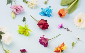 Картинка цветы, розы, Colorful, flowers, декор, blue background, эустома