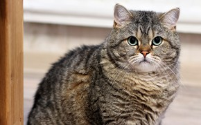Картинка кошка, кот, взгляд, морда, поза, серый, портрет, сидит, светлый фон, полосатый, зеленые глаза, британский, котэ, …