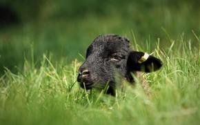 Картинка зелень, лето, трава, взгляд, морда, природа, фон, отдых, черный, портрет, весна, малыш, черная, лежит, барашек, …