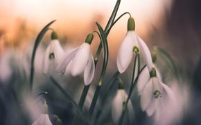 Картинка цветы, поляна, размытие, весна, подснежники, боке