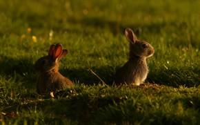 Картинка трава, свет, поляна, кролик, кролики, зайчик, детеныши, зайчики