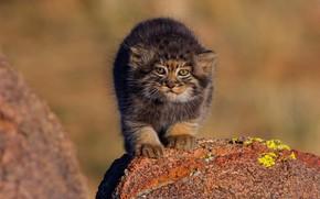 Обои кошка, природа, камни, котенок, фон, маленький, малыш, котёнок, дикие кошки, мордашка, детеныш, манул