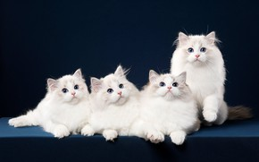 Картинка кошка, взгляд, синий, поза, фон, мордочка, котята, белые, квартет, фотостудия, рэгдолл