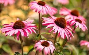 Картинка цветы, размытие, сад, розовые, рудбекия, эхинацея
