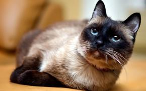 Картинка кошка, кот, взгляд, морда, поза, фон, портрет, лапы, лежит, голубоглазая, сиамская