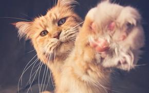 Картинка лапа, рыжий кот, котейка