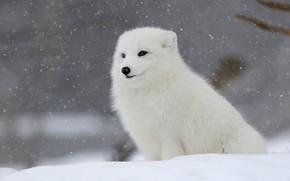 Картинка зима, белый, снег, сидит, снегопад, песец