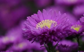 Картинка цветок, фиолетовый, макро, астра