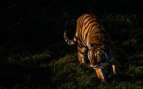 Картинка трава, свет, тигр, поза, темный фон, прогулка