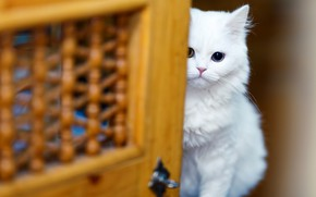 Картинка взгляд, прятки, глазки, разноглазый, котёнок, киса, котенок, дверь, размытие, мордочка, сидит, белая, кошка, фон, выглядывает, ...