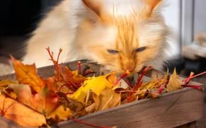 Картинка осень, кошка, кот, взгляд, морда, листья, свет, поза, листва, желтые, рыжий, ящик, кленовые, осенние листья