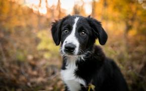 Картинка осень, лес, взгляд, свет, природа, поза, парк, фон, черно-белый, портрет, собака, малыш, милый, щенок, мордашка, ...