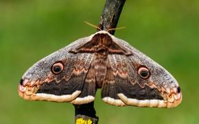 Картинка макро, зеленый, фон, узор, бабочка, ветка, насекомое, крылышки, мохнатая, павлиноглазка, серая с коричневым