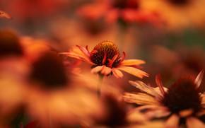 Картинка цветы, размытие, сад, оранжевые, боке, рудбекия