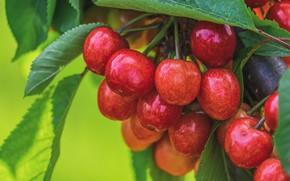 Картинка листья, вишня, ягоды, фон, еда, ветка, гроздь, красные, фрукты, черешня, спелые