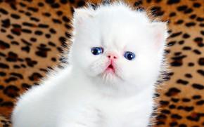 Картинка кошка, белый, взгляд, котенок, фон, розовый, глазки, пушистый, малыш, перс, мордочка, милый, носик, котёнок, голубые …