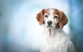 Картинка взгляд, морда, фон, портрет, собака, Бретонский эпаньоль, Эпаньоль Бретон
