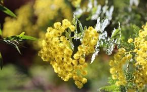 Картинка свет, цветы, ветки, куст, весна, желтые, цветение, боке, мимоза