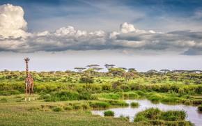 Картинка облака, озеро, жираф, саванна, clouds, lake, giraffe, savannah, Jeffrey C. Sink