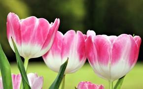 Картинка фон, весна, трио, розовые тюльпаны