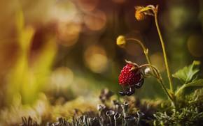 Картинка макро, природа, мох, земляника, ягода, муравей, боке