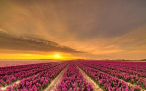Картинка поле, небо, солнце, облака, закат, цветы, красота, вечер, розовые, грядки, Нидерланды, много, ряды, цветочное поле, …
