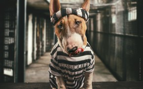 Картинка морда, собака, тюрьма, Бультерьер, заключённый