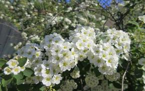 Картинка небо, цветы, ветки, куст, белые цветочки, весна 2018, Mamala ©