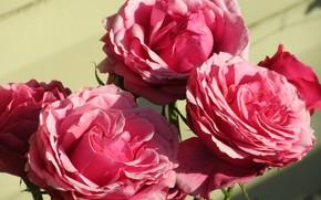 Картинка Куст, Розовые, Розы, Meduzanol ©