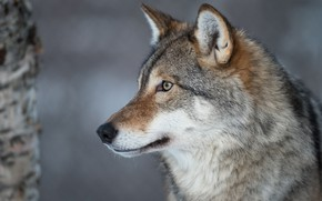 Картинка взгляд, морда, серый, фон, дерево, волк, портрет