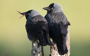 Картинка птицы, фон, две, пара, дуэт, галка, галки