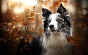 Картинка осень, взгляд, морда, листья, свет, ветки, природа, листва, черно-белая, портрет, собака, боке, бордер-колли, пятнистая